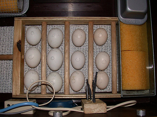 Twelve Wynadotte bantam eggs in an incubator, 6 larger white eggs on the left and 6 smaller partridge colored on the right